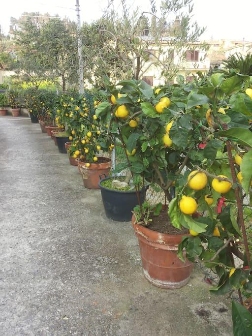 I limoni nel viale