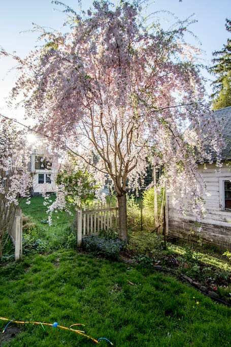 Weeping Cherry in the backyard