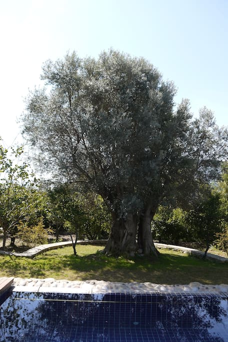 You can chill out and relax under the shadow of this 500 years old olive tree