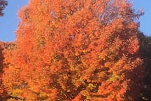Neighborhood foliage--spectacular!