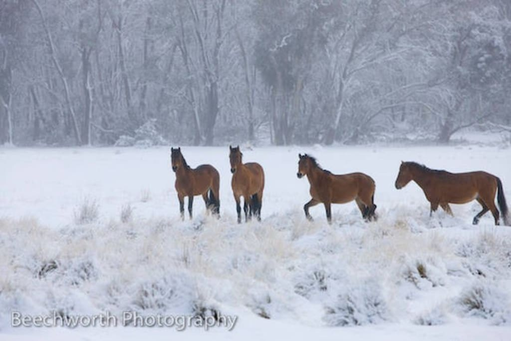 A blanket of snow and a group of brumbies metres from the house.