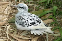 Le Paillenqueue. Ici, un oiseau juvénile, qui devra vite apprendre à voler.