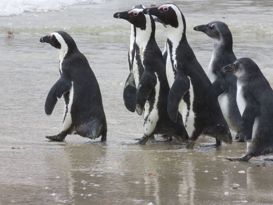Endangered African Jackass penguin colony 5 minutes walk away.