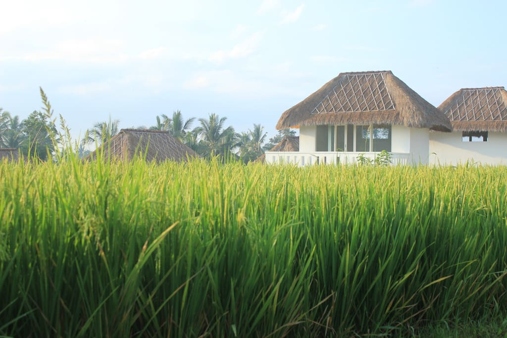 surrounded by rice field