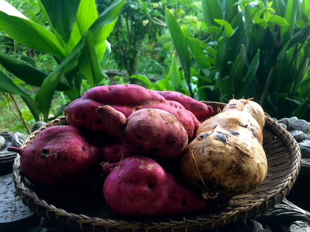 our permaculture garden sweet potatoes