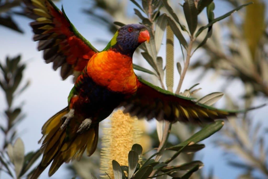 Rainbow lorikeet in The Retreat gardens