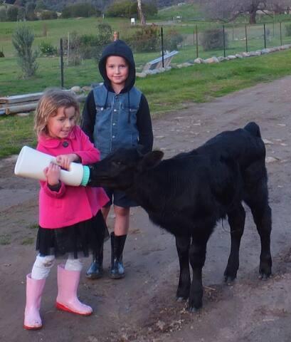 Enjoy feeding the calf