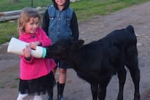 Enjoy feeding the calf