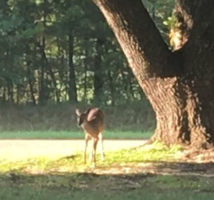 We have a pet deer, Felice. She loves apples, corn and chewing my pansies and fig trees