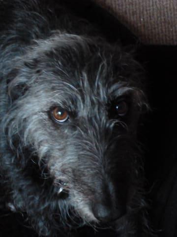 Bertie, one of the local Lurchers