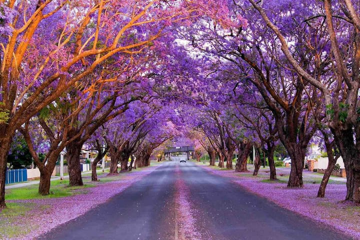 Come and join us for the Jacaranda Festival Mid October to Mid November