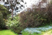 Back garden - when Forget-Me-Nots in  full bloom during Spring.