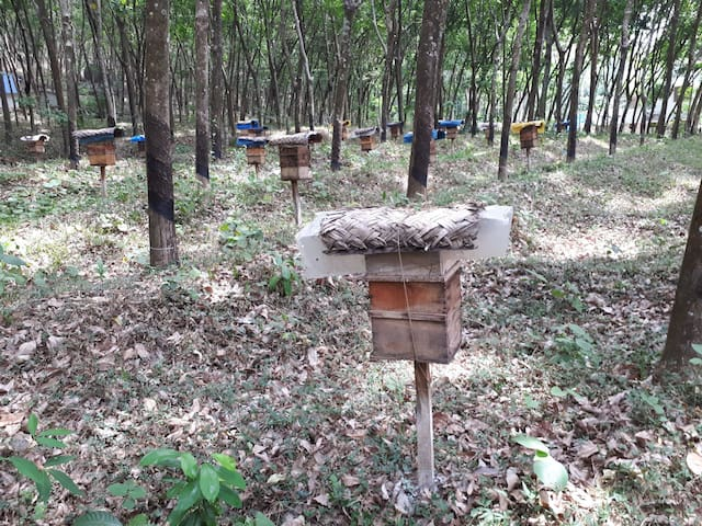 Bee keeping for pure honey production in our Rubber plantation...