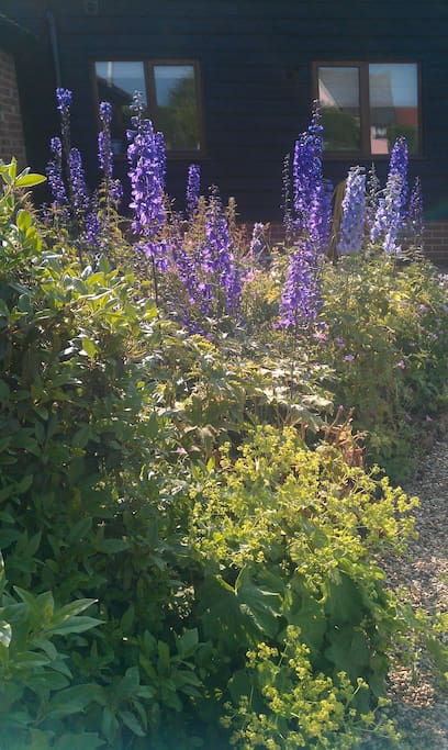 Delphinium's in all their glory at Holly Tree farm