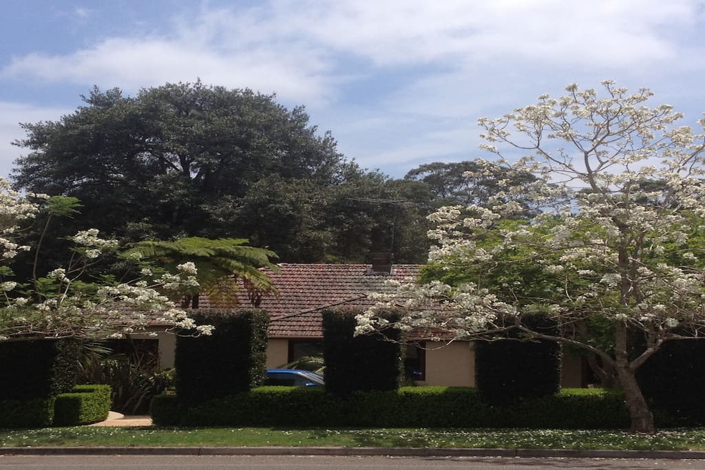 Front of house with white Jacaranda's