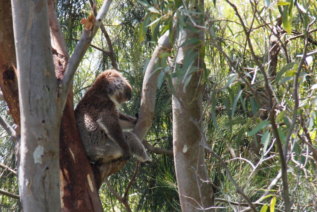 A koala in our neighbours tree