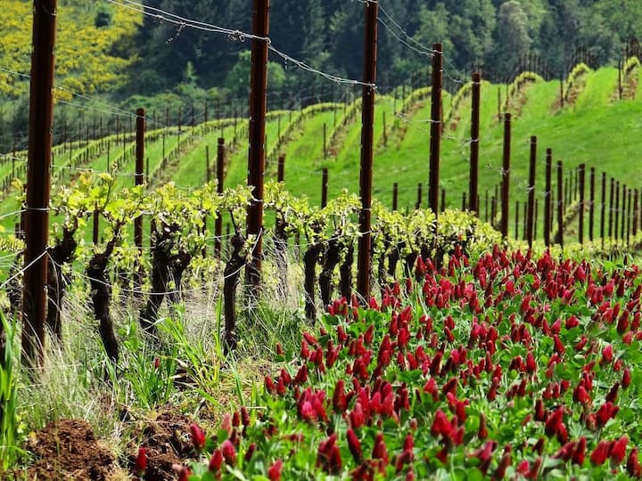 Vineyard cover crop in spring