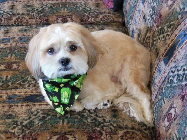 "This is Kenji, my Shih-Tzu.  He's a bit of a rascal.  And, look at that face!  Could you say ""No"" to that face?  Neither can I."