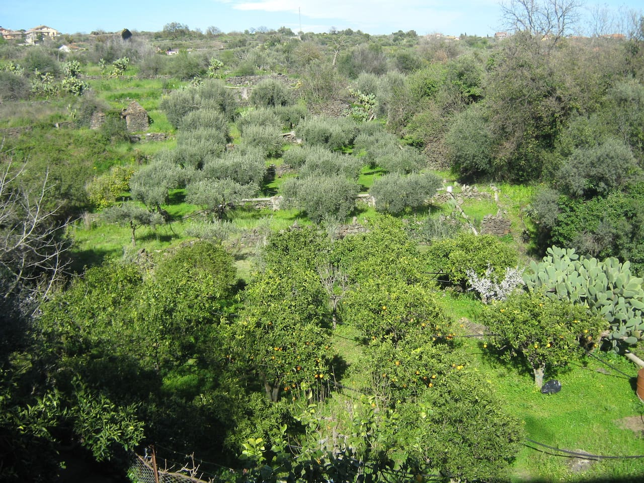 Grove in the back of the Villa, with olive, citrus and other fruit trees