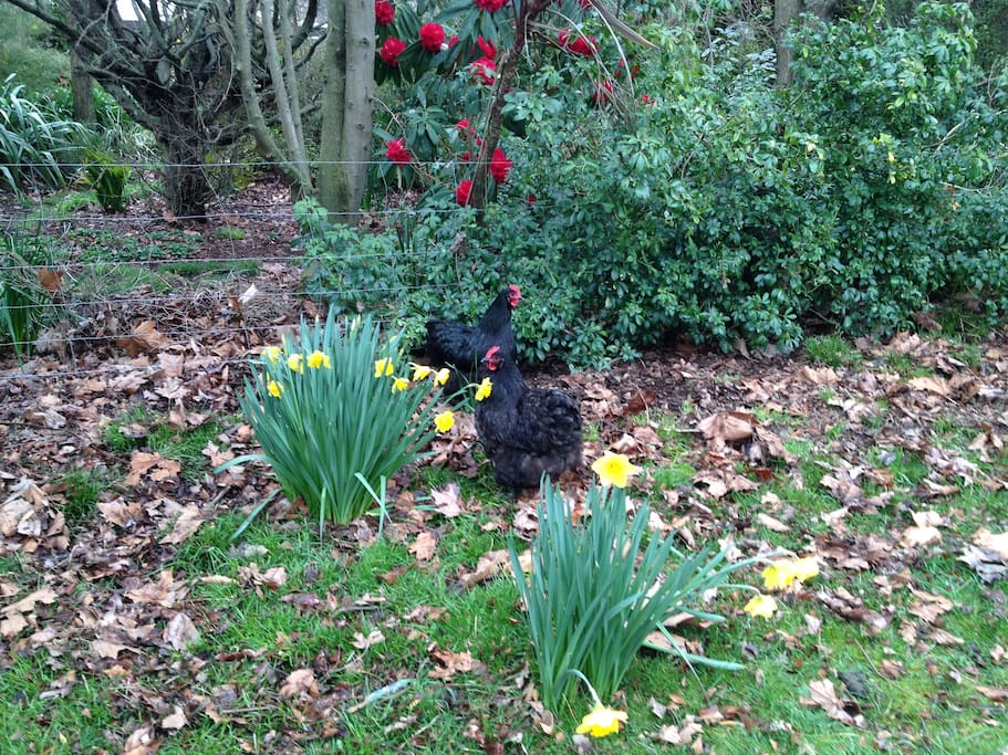 Chickens among the daffodils