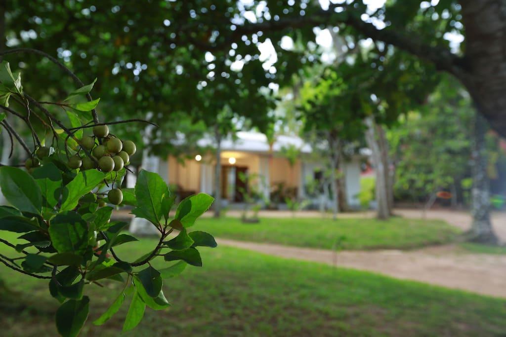 """Ceylon """"olive"""" in gardens"""