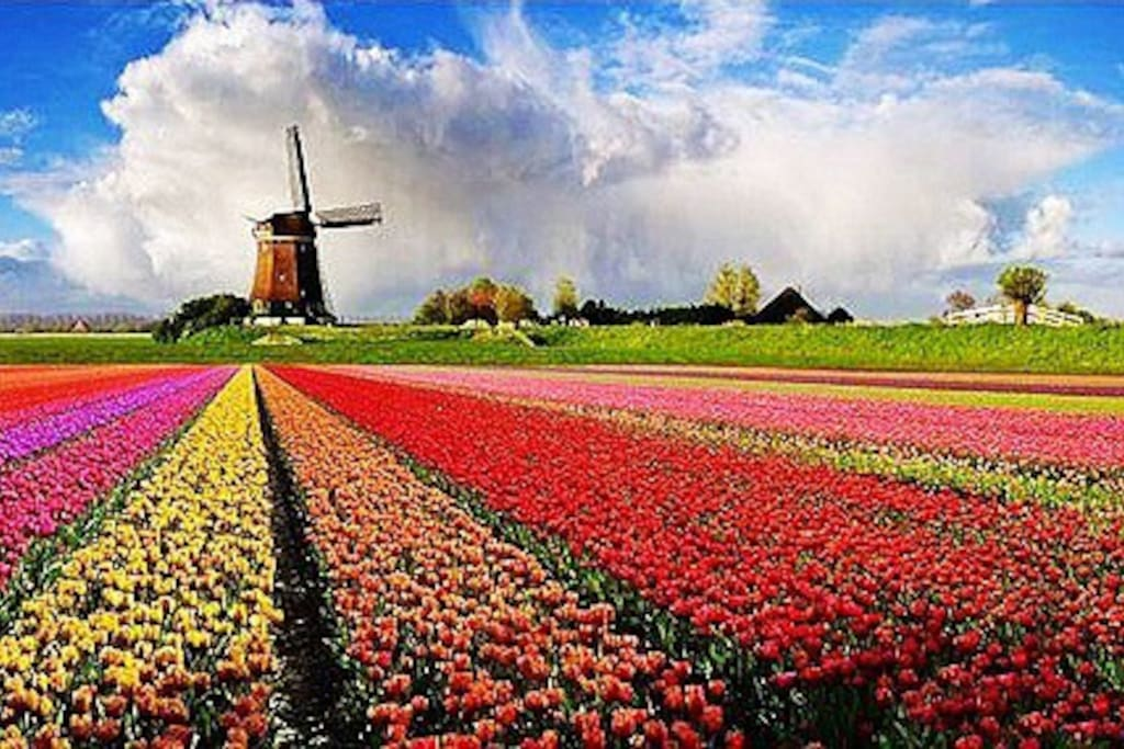 Holland tulip !