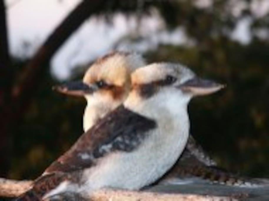 Australian Kookaburras