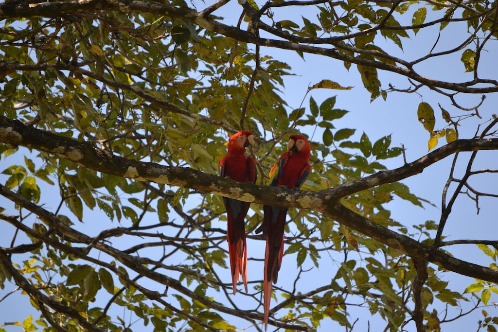 The lastest re-introduction to the area Macaw's. Often found in the trees across the street.