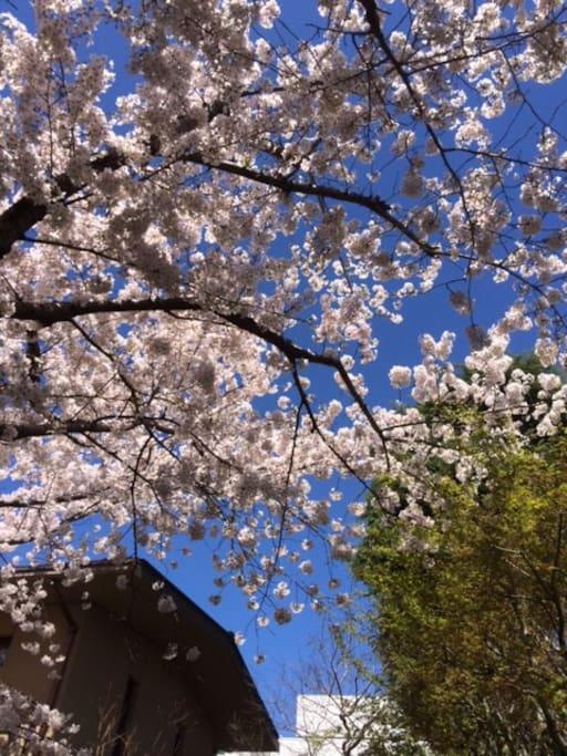 庭に桜の木があります