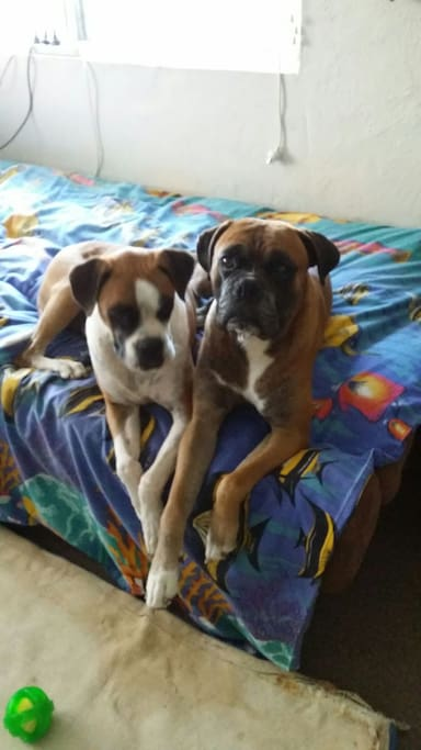 Our Beautiful Boxer Dogs