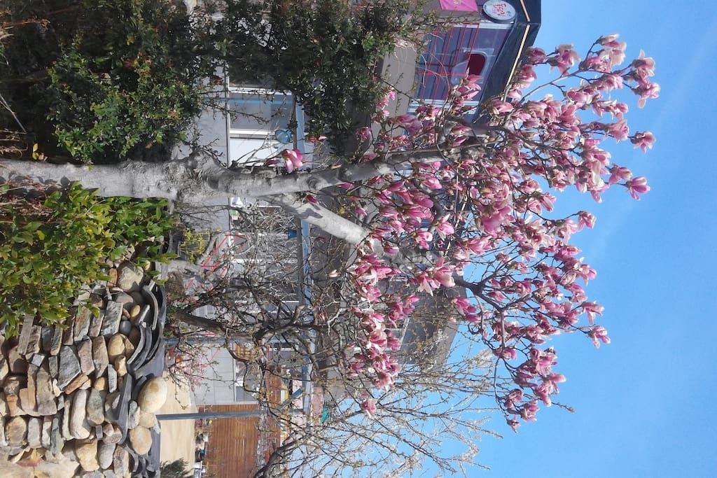 밖에서 본 '돌담집그곳' 입니다.  봄이라 적목련이 아주 멋지게 피었습니다. 돌담집에서의 봄은 참 아름답습니다.