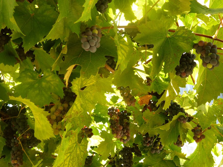 Grapes waiting to be picked by the guests. Sweet and plentiful in season.
