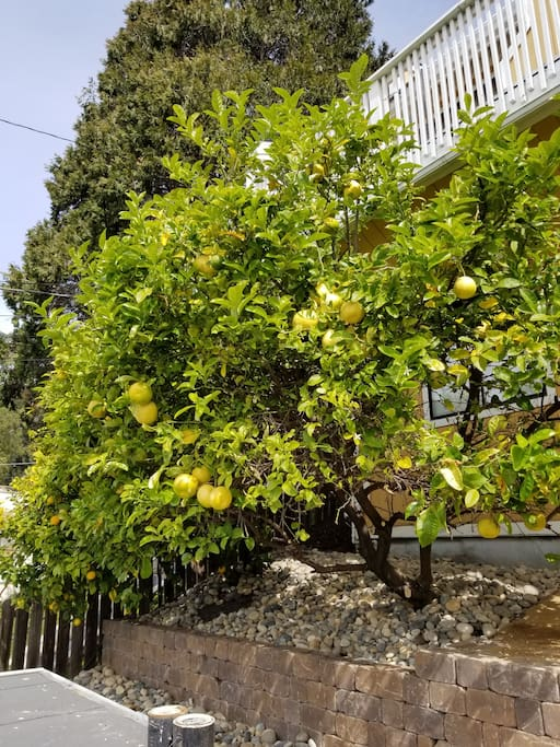 Lemon tree: Feel tree to take one!