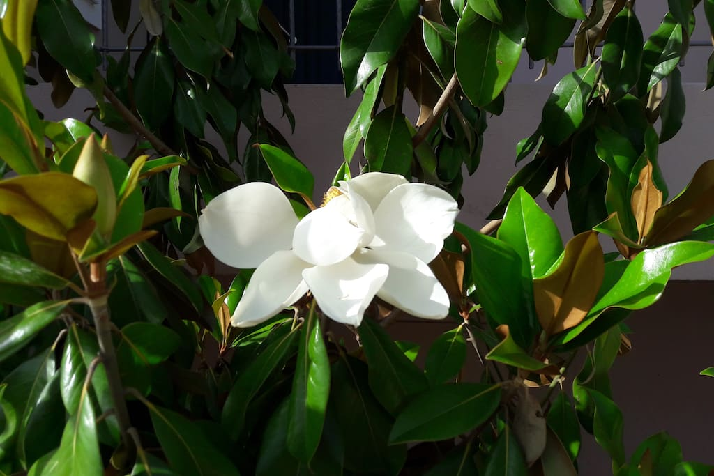 Magnolia tree by the entrance