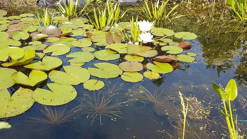 Die Seerosen und Wasseraloe fangen an zu blühen.