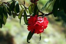 Rhododendron - Burans :-)