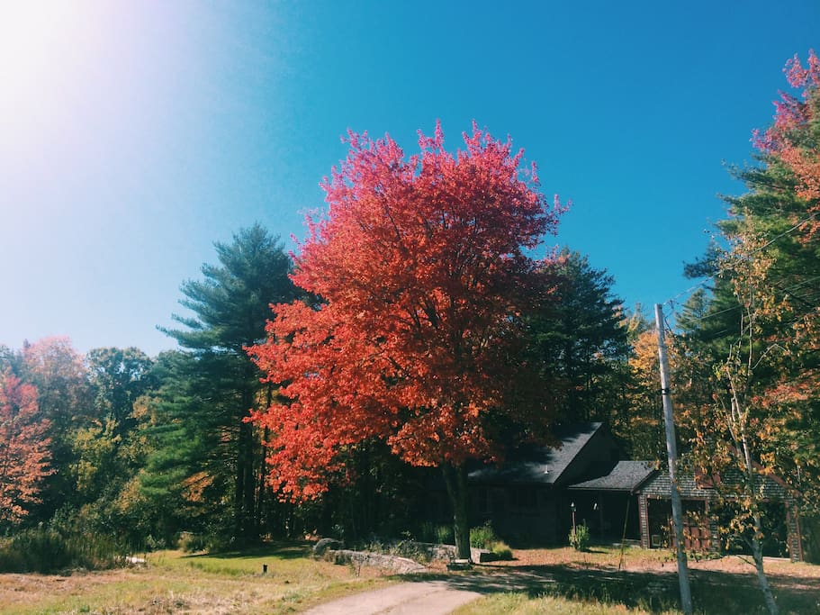 The house and property at the height of fall. This tree is beautiful in the summer, too!