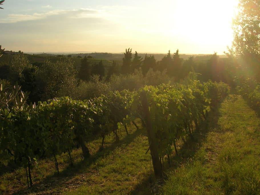 Chianti wineyards