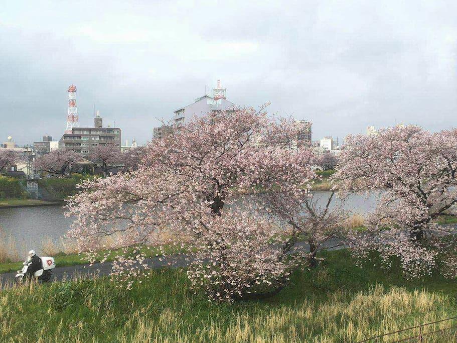 尽收眼底的樱花河畔!