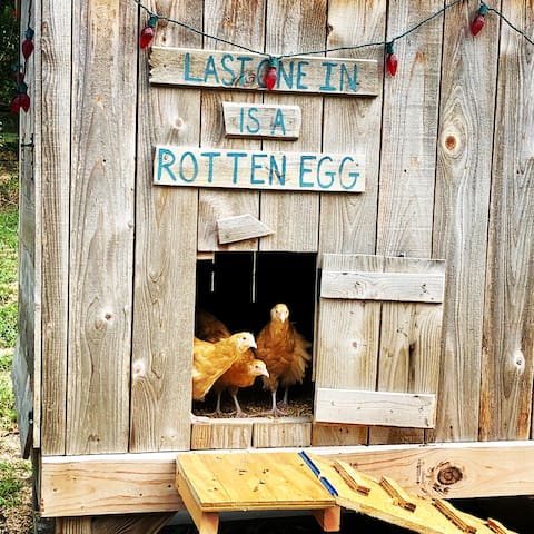 Where all the cool chicks come to play at night! Our beautiful hen-lets aren't quite laying age, but soon they'll offer up bright blue and brown eggs for the best farm omelets around!