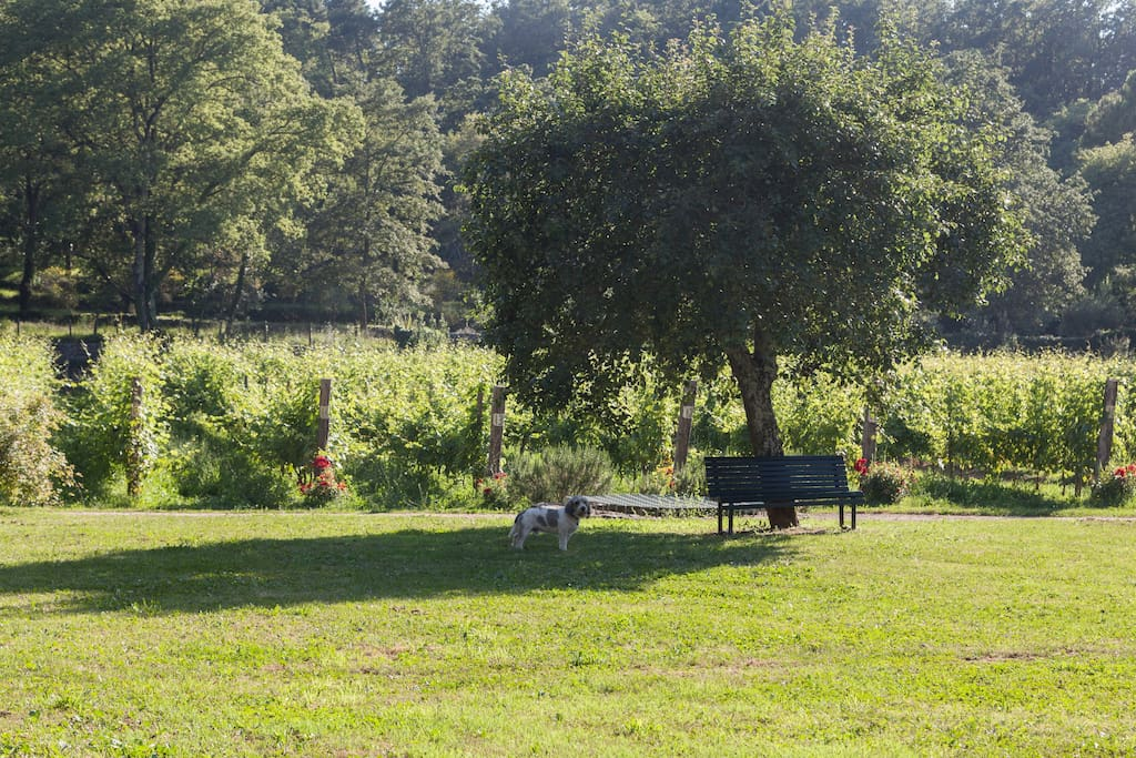 The pear tree, Paco (our dog) and the vineyard