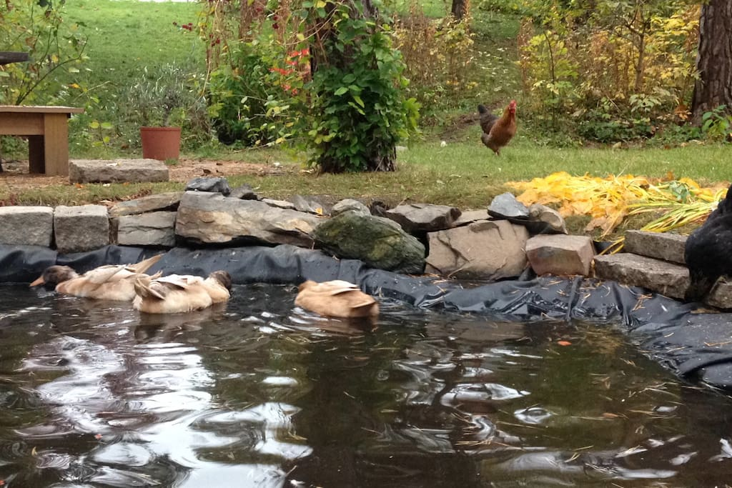 Friendly ducks in the garden.
