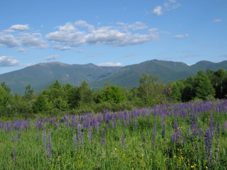 Abundant lupines surround the chalet  & local fields in June for about 3 weeks. Lupine celebration wkends
