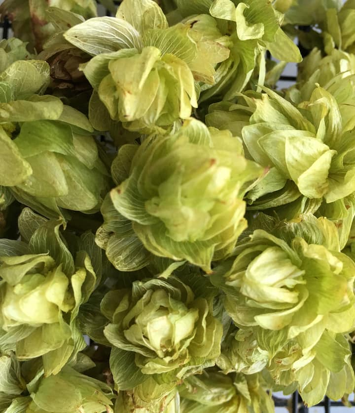 Dried hops harvested from the farm