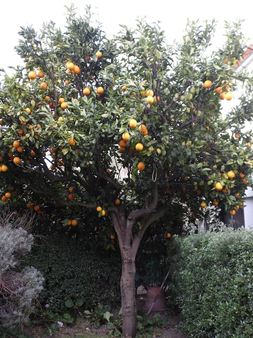 laranjeira/orange tree