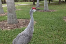 Sand Hill Crane in Crandon Park.  (Shared with Peacocks and Iguanas)
