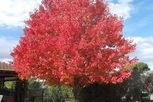 Canadian Maple in Autumn