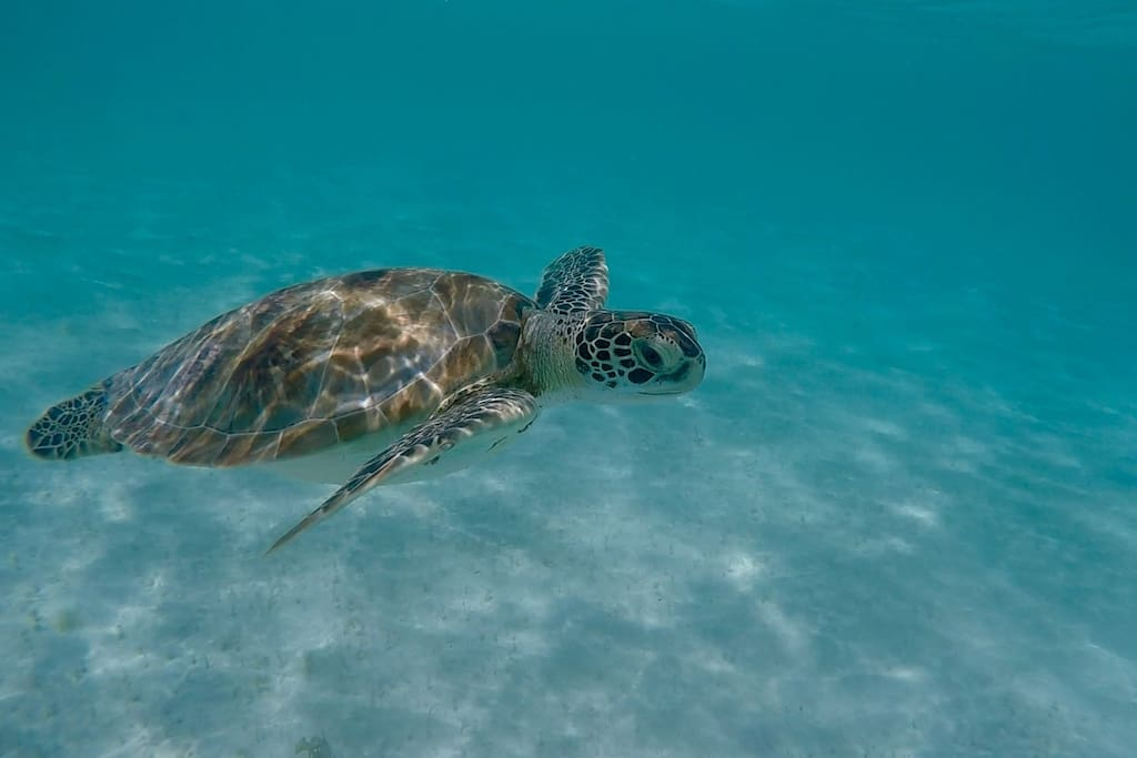 Swimming with turtles in Barbados right at our closest beach.