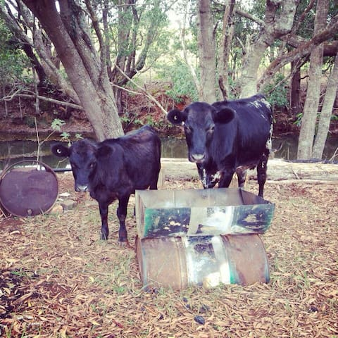 Clara and Clancy are two miniature cows beside the fireplace along the creek