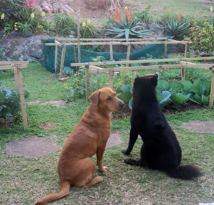 Two of the family dogs (medium to small size) at the back with the organic vegetable garden.